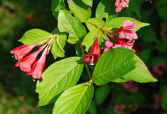 Weigela florida  - cvetovi in listi vajgele